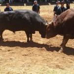 経験豊富な牛の角突き